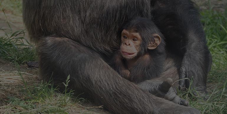 chimpanzee-830528_1920
